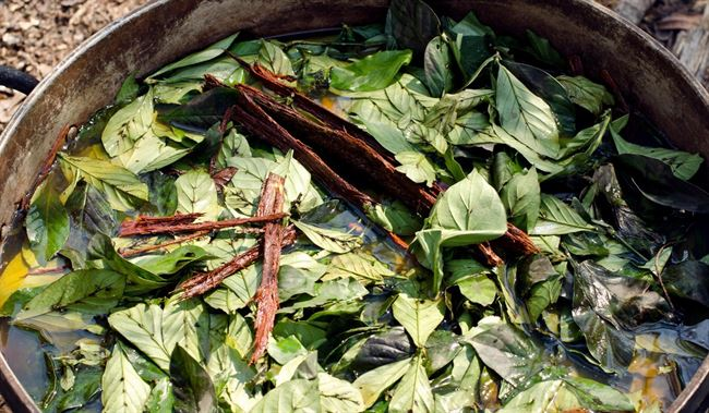 Ayahuasca-and-chakruna-leaves