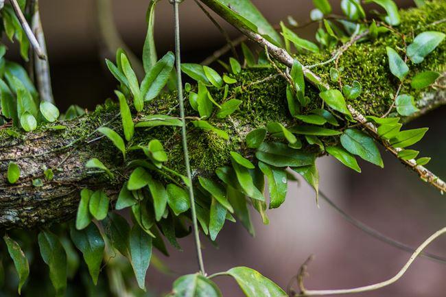 ayahusaca-vine
